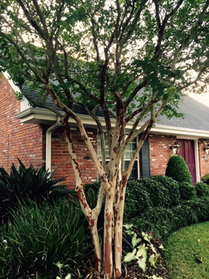 Picture of crape myrtle tree