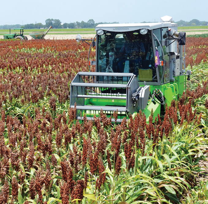 Grain sorghum is harvested at the AgCenter Rice Research Station