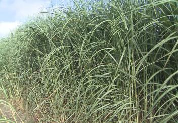 Farmers learn about new varieties sugarcane research