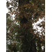 White Oak Question