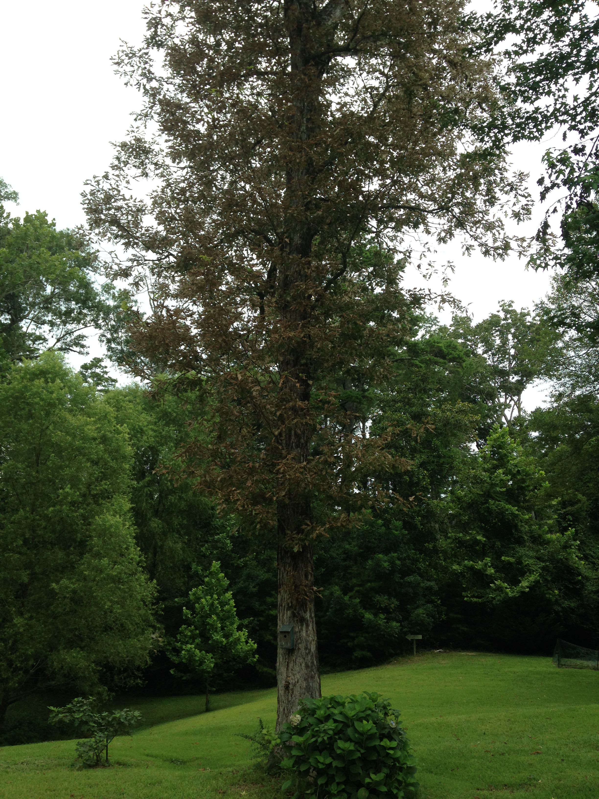 Picture of white oak tree with damaged foliage.