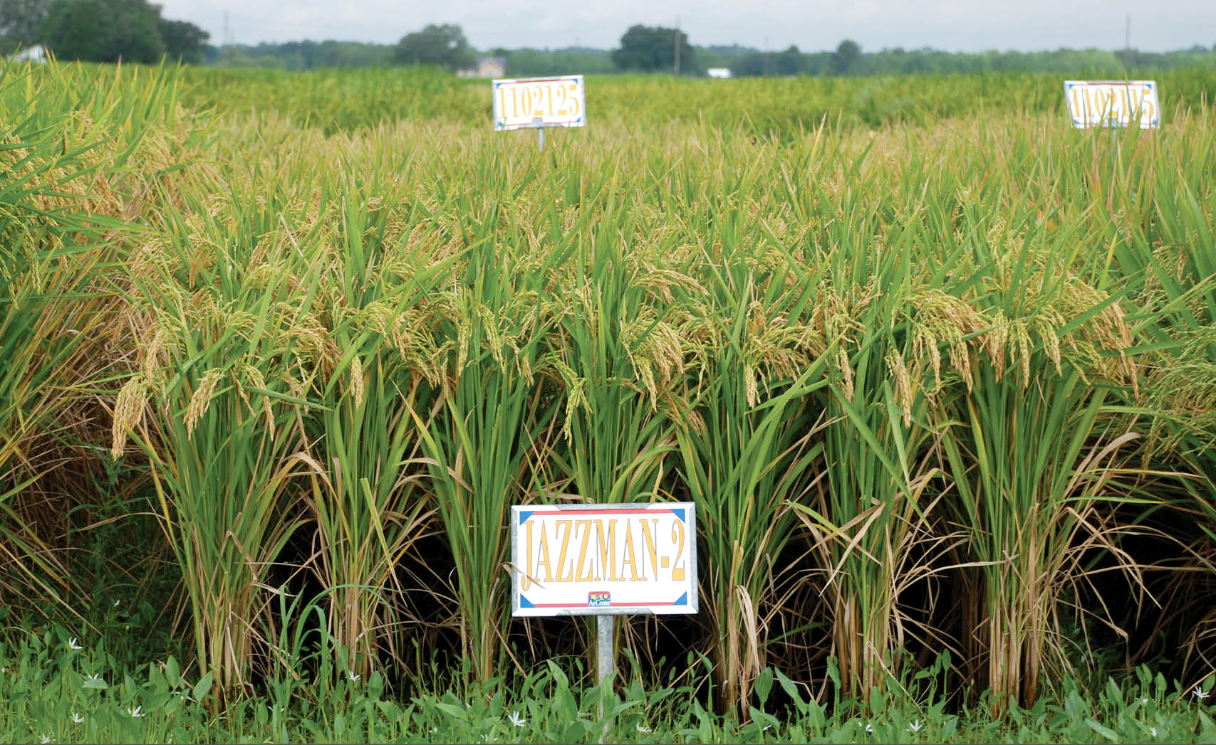 Jazzman varieties providing alternatives to imported aromatic rice