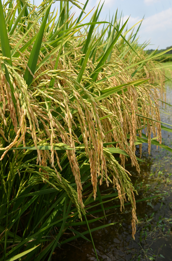 Several lines of hybrid rice