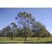 Plant pecan trees in winter