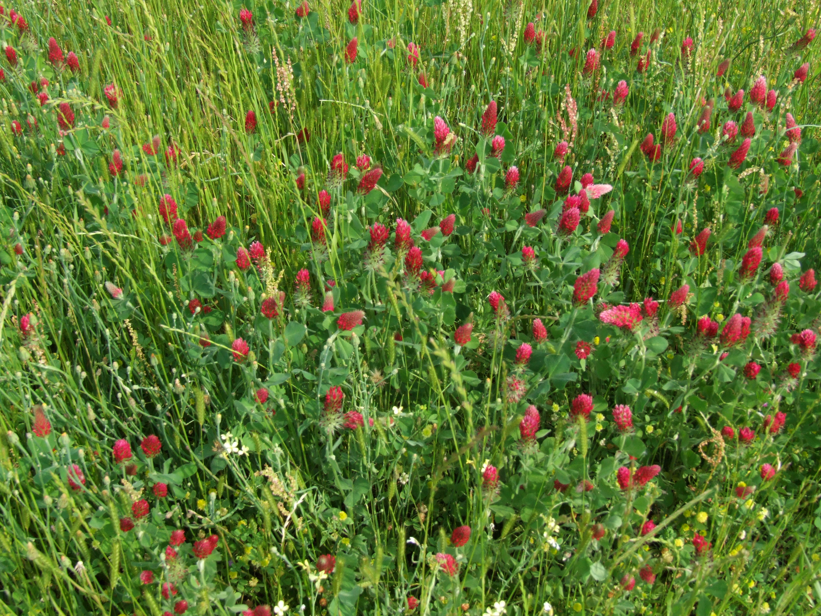 A field of red clover.