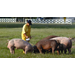 Trace Minerals for Swine and Poultry
