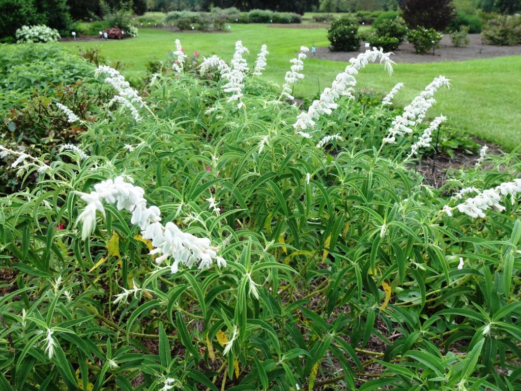 Mexican Bush Sage – Ornamental Plant of the Week for September 14, 2015
