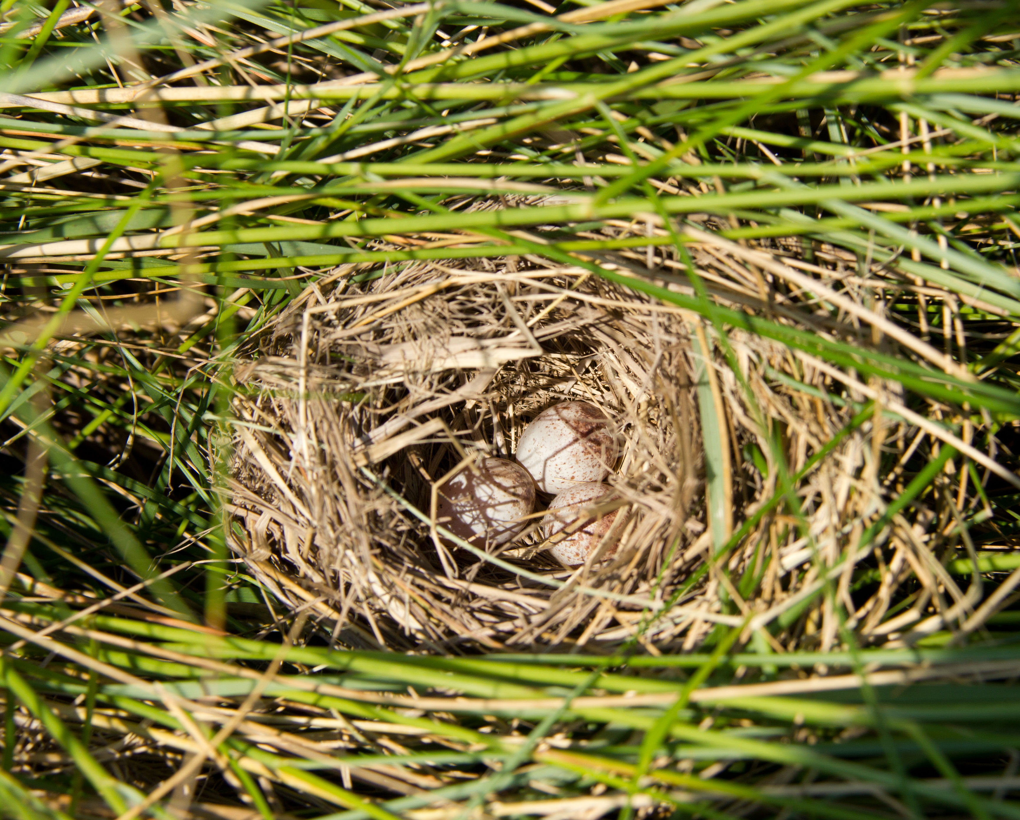 messy nest of the sparrow1.jpg thumbnail