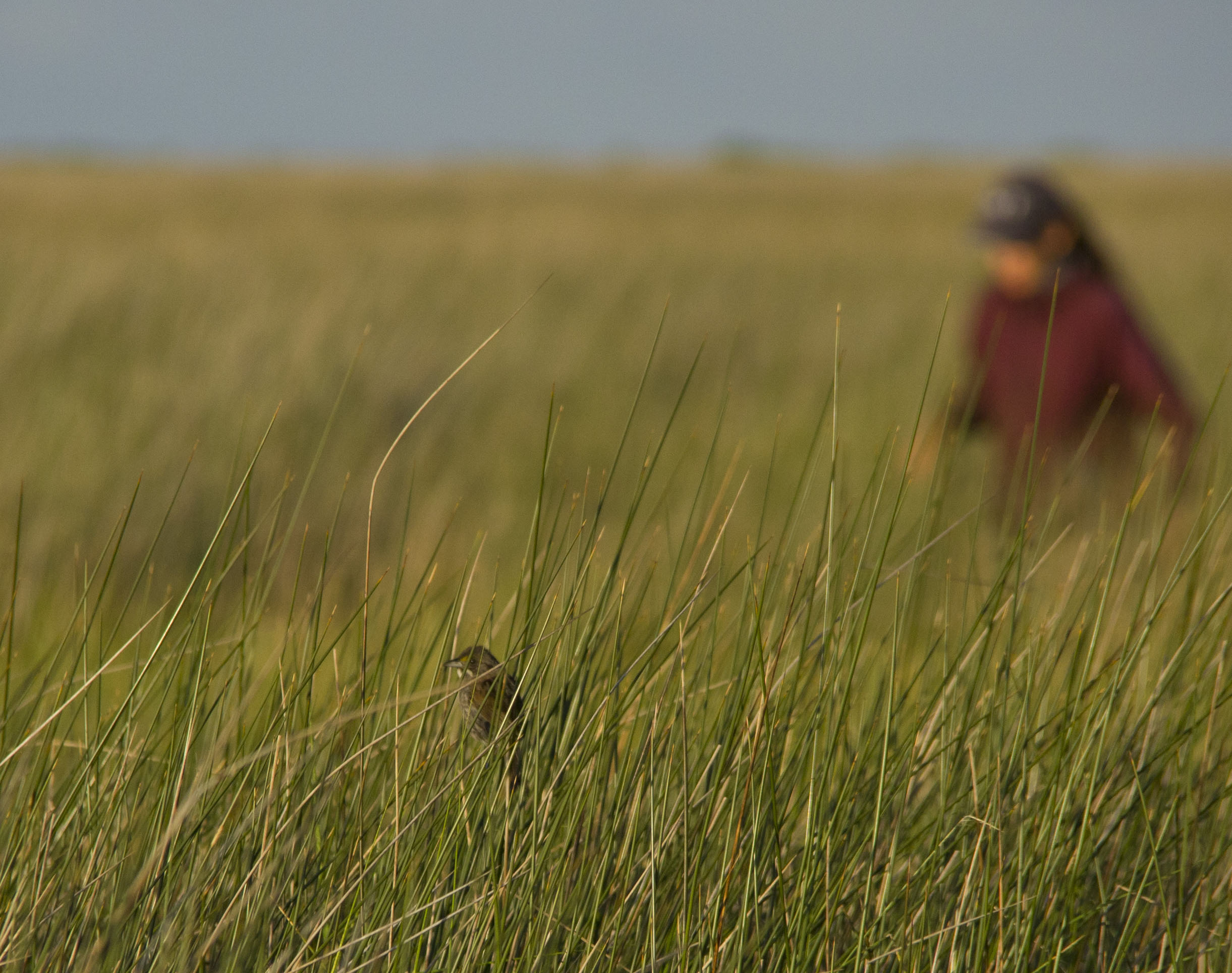 sparrow in the field1.jpg thumbnail