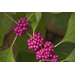 American beautyberry, beautiful native plant for the fall