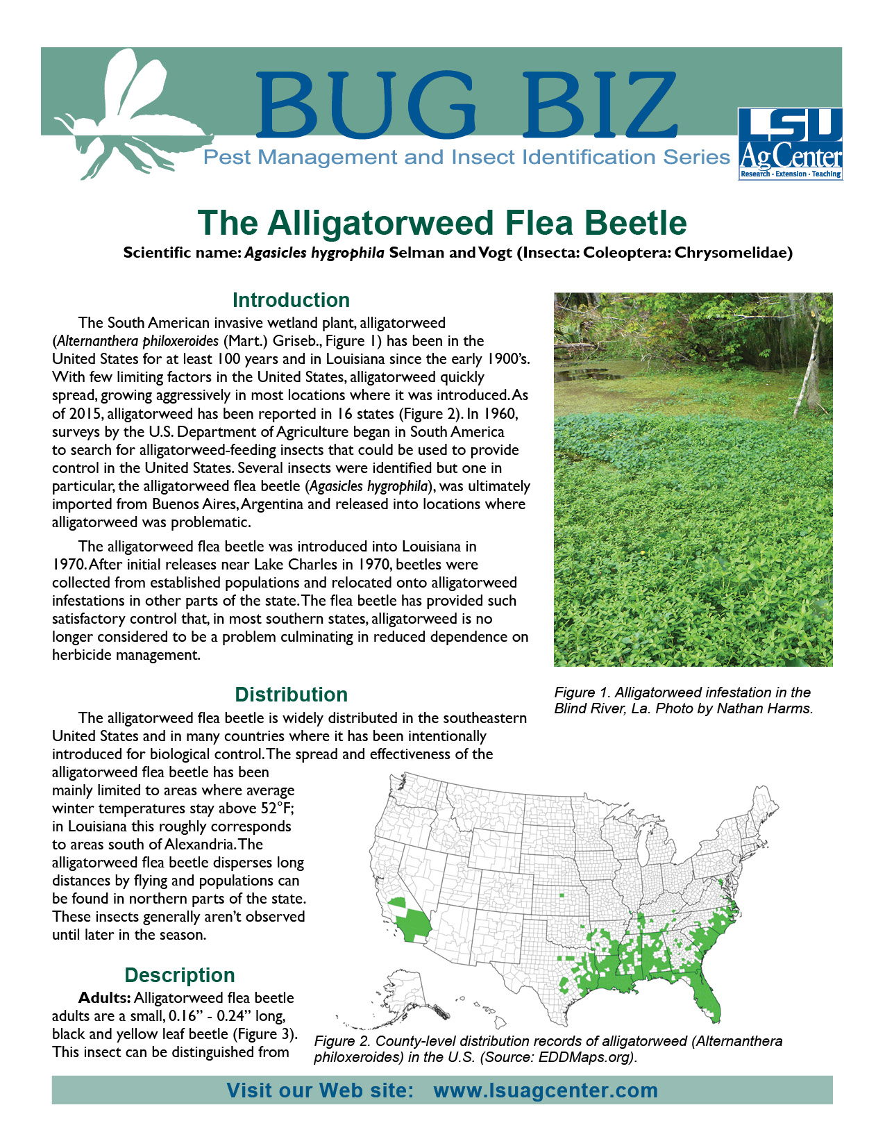 The Alligatorweed Flea Beetle