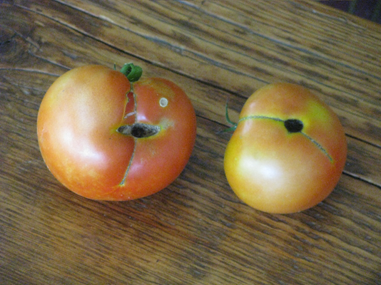Picture of tomatoes with holes caused by a caterpillar called the tomato fruit worm.