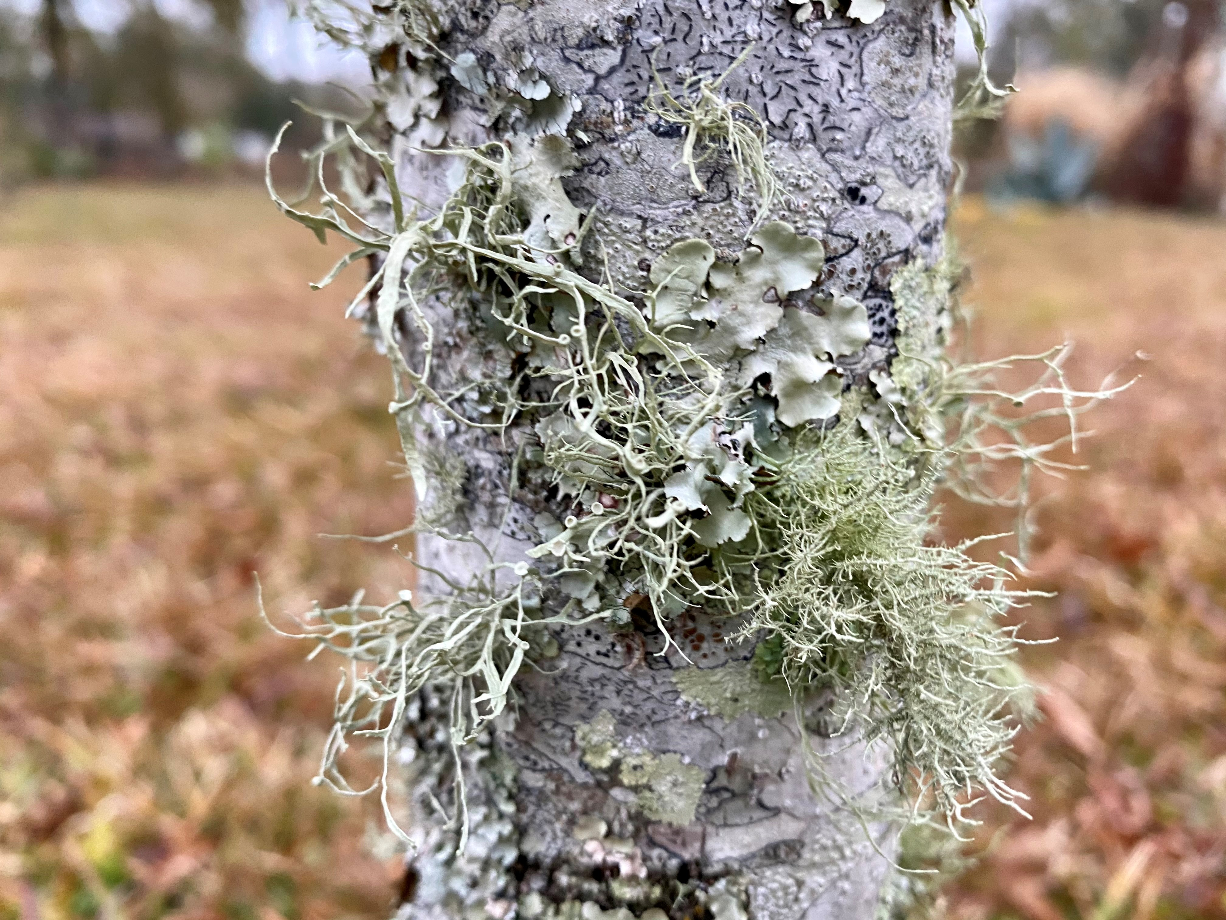 Highly branched fruticose lichens appear hair-like and stand upright sometimes displaying a cup.