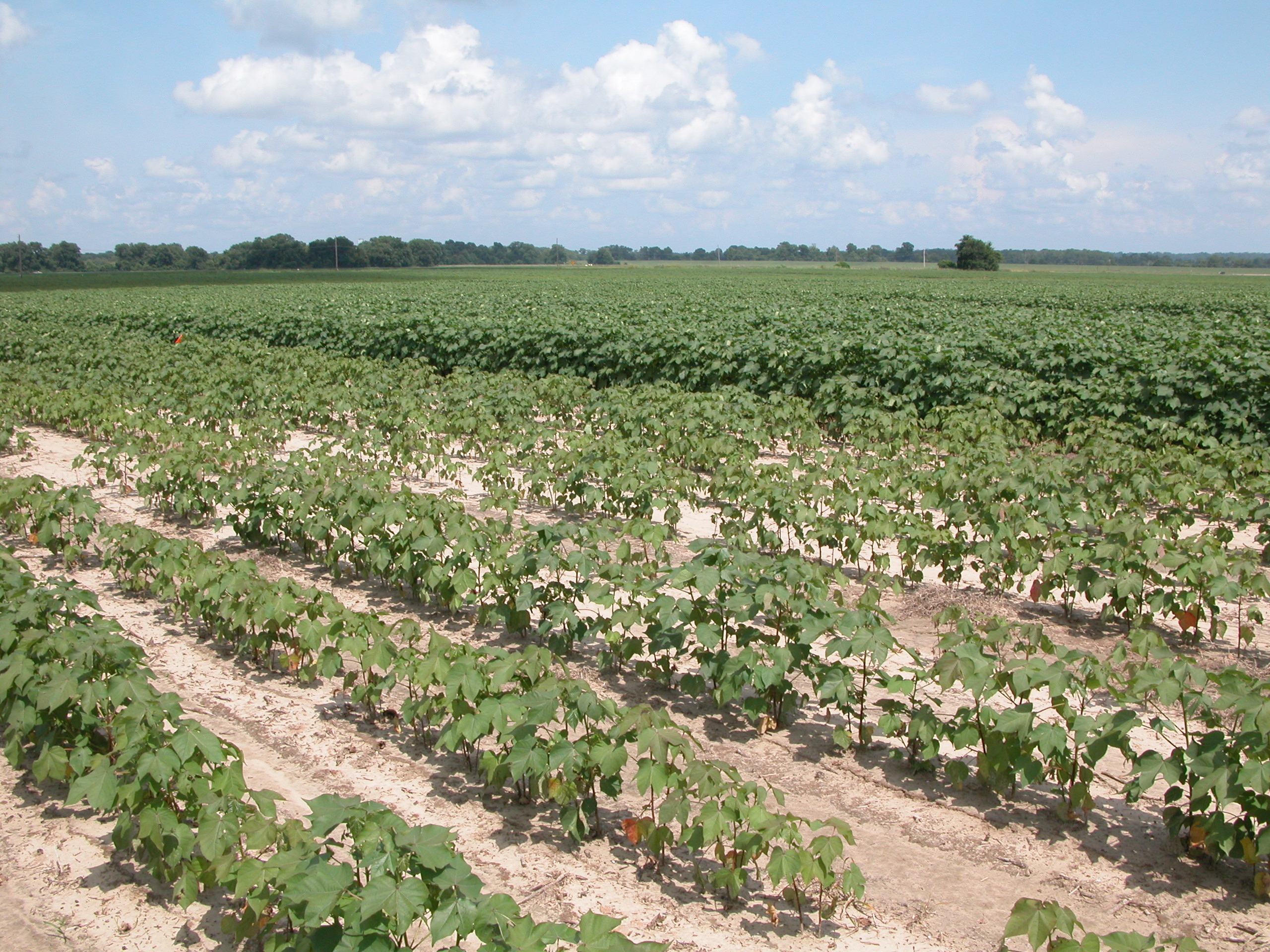 Damage to cotton from nematodes.