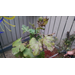 Ailing Fig Tree
