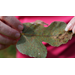 Get It Growing: How to treat fig leaf rust