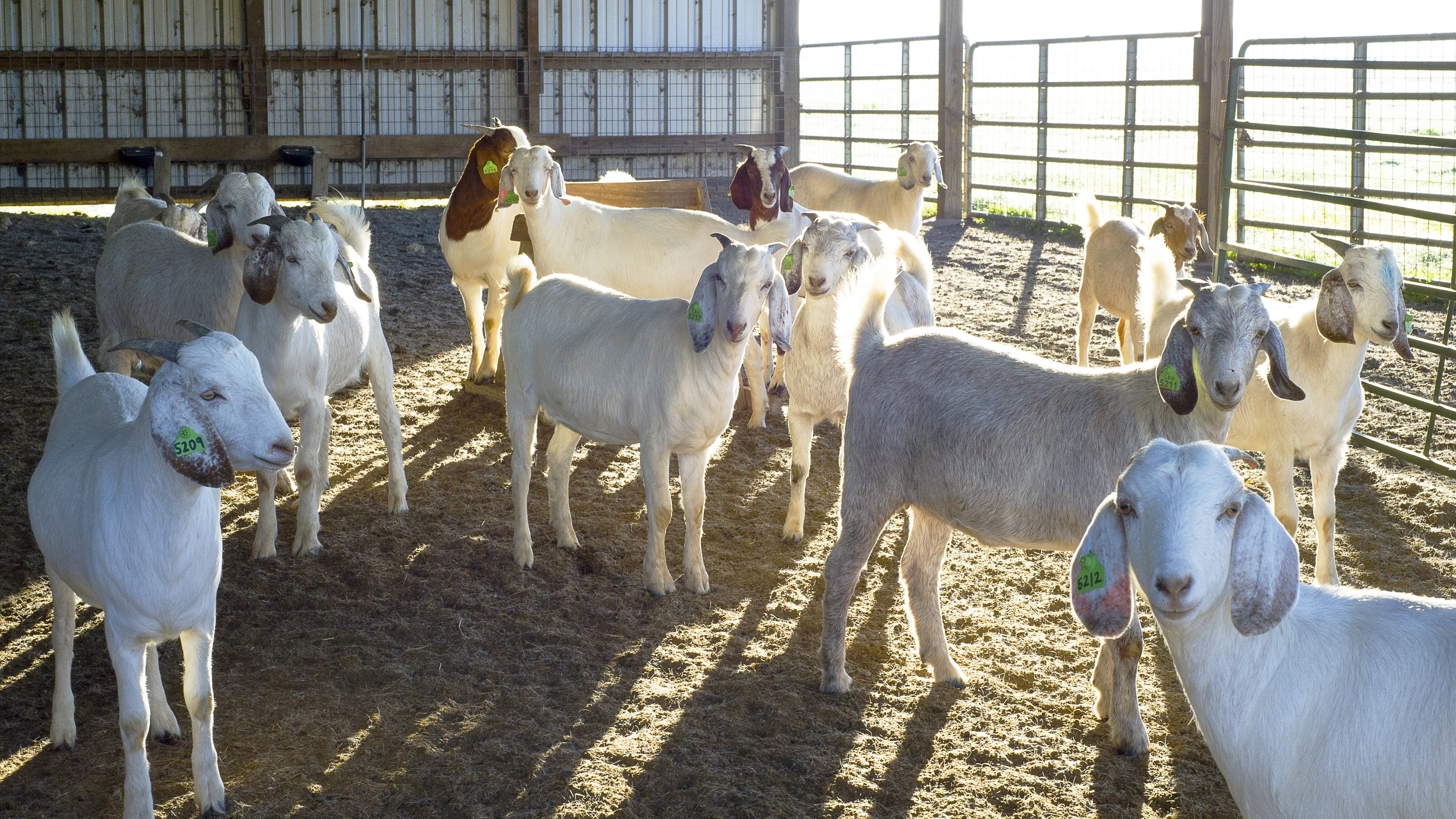 Disease prevention, nutrition topics of sheep, goat field day