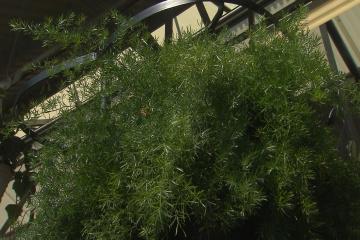 Asparagus fern thrives in sunlight
