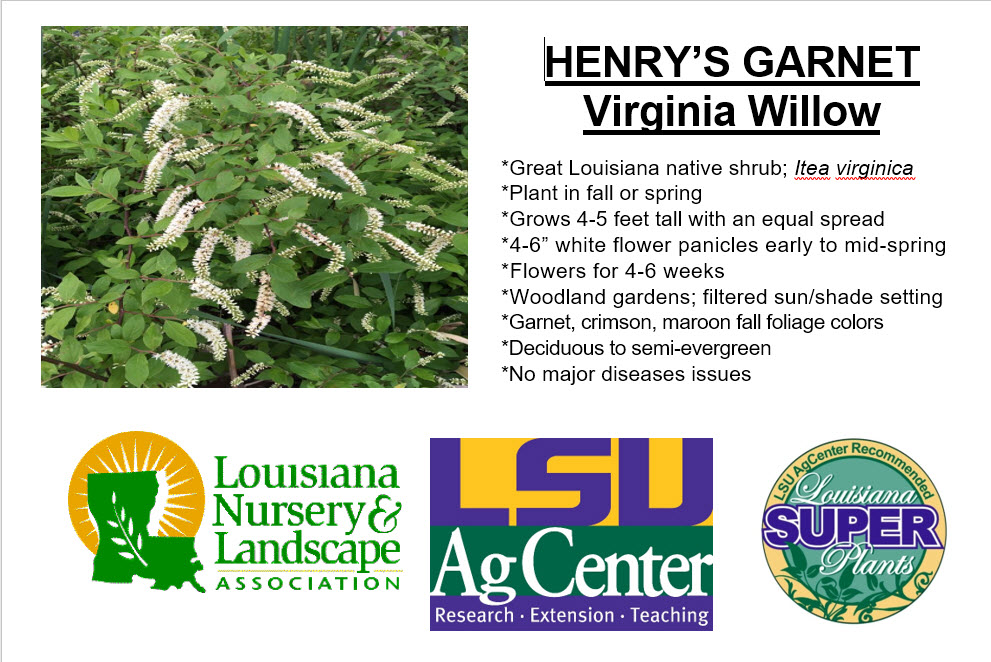 Henrys Garnet Virginia Willow.jpg thumbnail