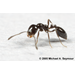 Little Black Ant Management in Structures