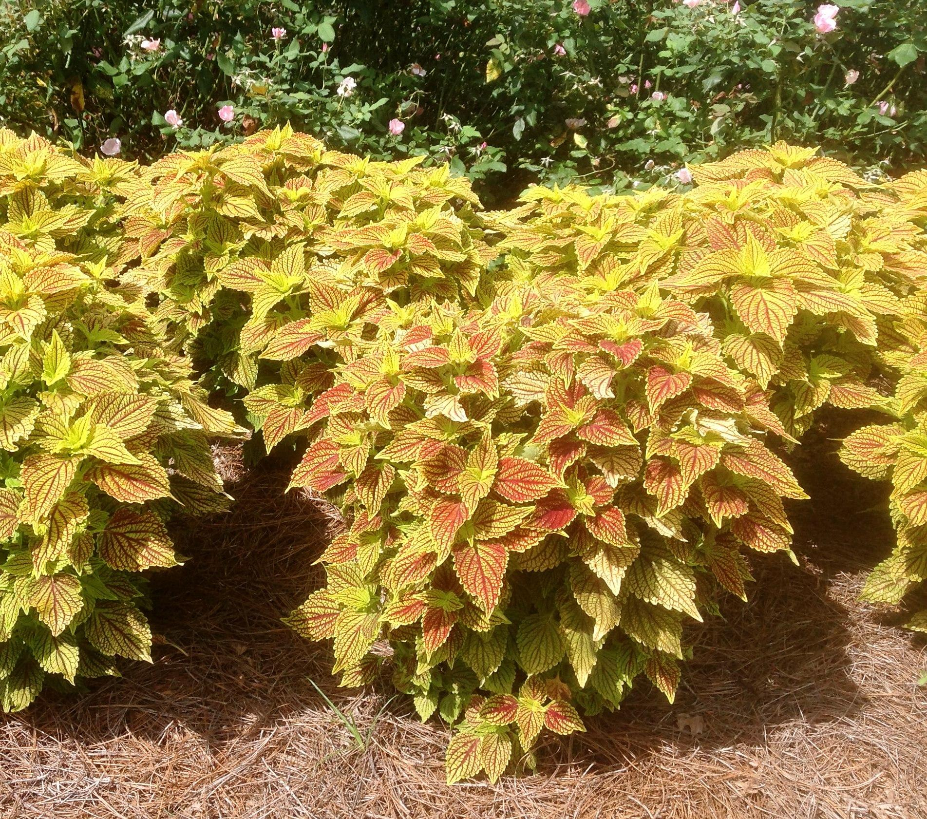 Sun Coleus – Ornamental Plant of the Week for June 1, 2015