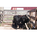 Calf Weaning Can Alter Nutrient Requirements of Cows
