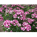 Amazon Dianthus - Louisiana Super Plant Fall 2010