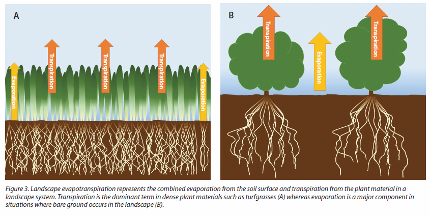 Figure 3. Landscape evapotranspiration represents the combined evaporation from the soil surface and transpiration from the plant material in a landscape system. Transpiration is the dominant term in dense plant materials such as turfgrasses, (A) whereas evaporation is a major component in situations where bare ground occurs in the landscape (B).