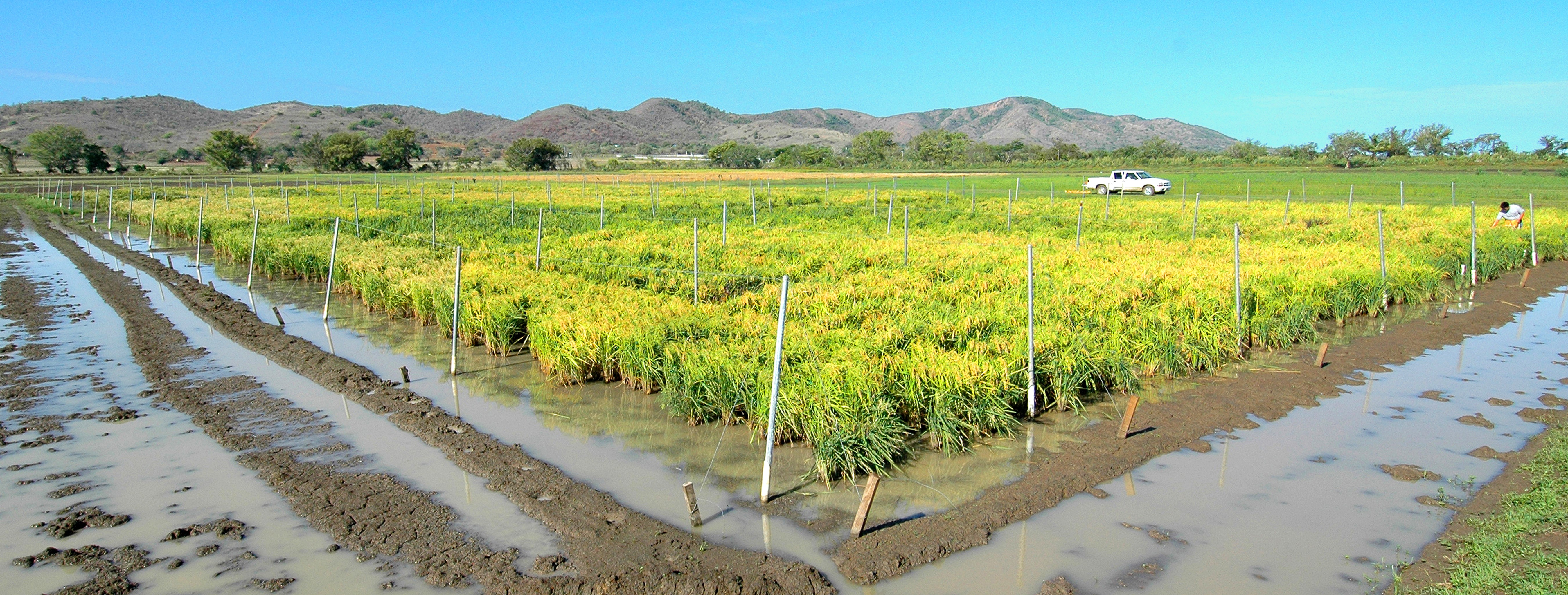 LSU AgCenter rice nursery in Puerto Rico survives hurricane
