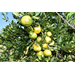 Citrus grower says results mixed with this year's crop