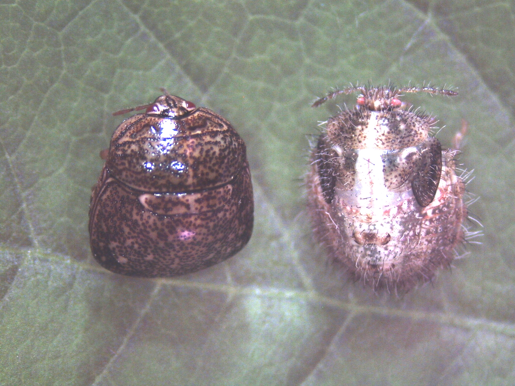 Kudzu bug continues its trek across the state
