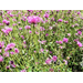 Gomphrena produces colorful flowers now til frost