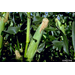 You Can Get Started on Spring Gardening by Planting Sweet Corn