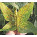 Understanding of soybean taproot decline disease evolving