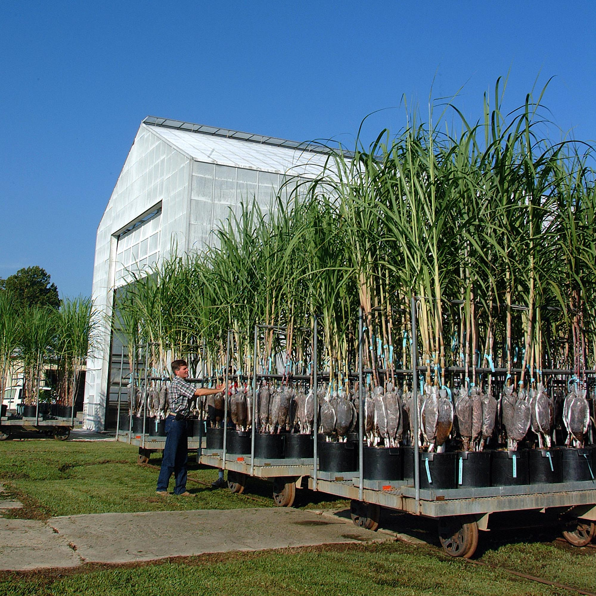 Sugarcane field day set for July 19 in St. Gabriel