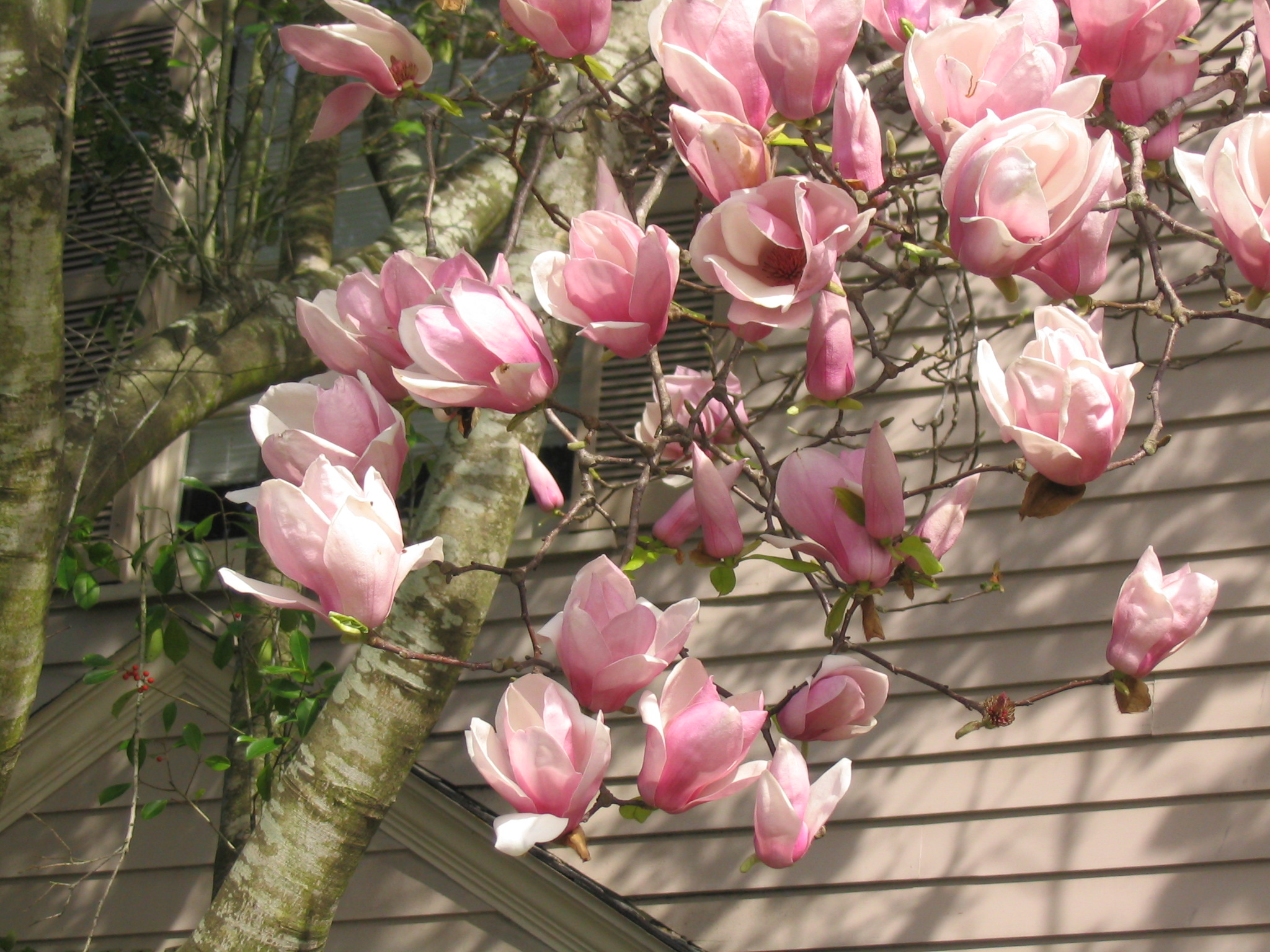 Japanese magnolias provide late-winter color