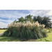 Use ornamental grass plumes for home décor