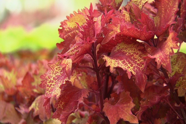 Henna coleus is a colorful Super Plant for summer gardens