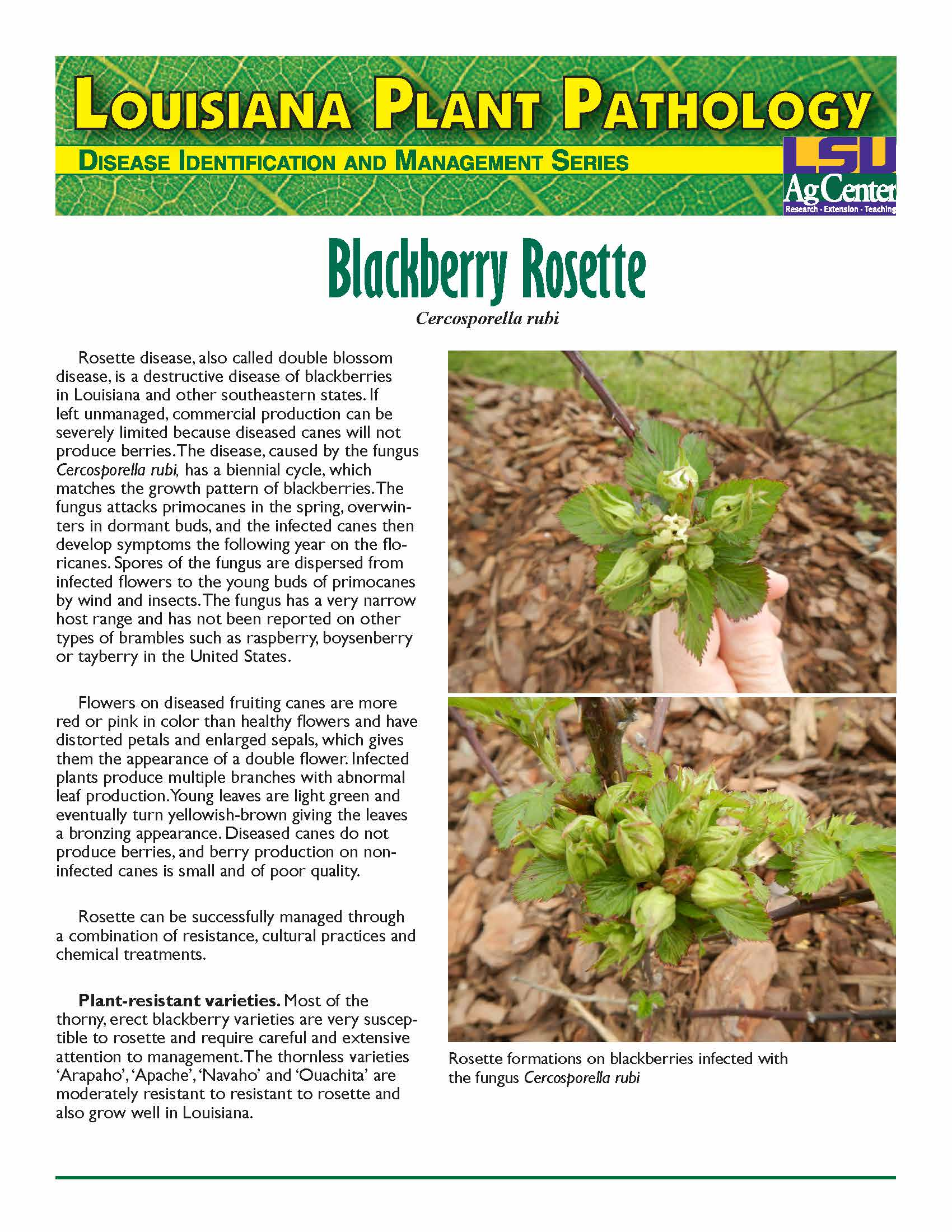 3527 Blackberry Disease Cover