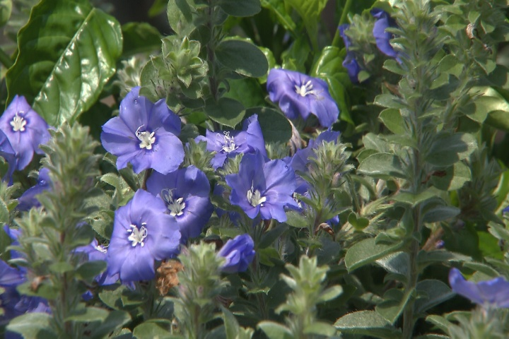 Add blue daze to your summer flower bed