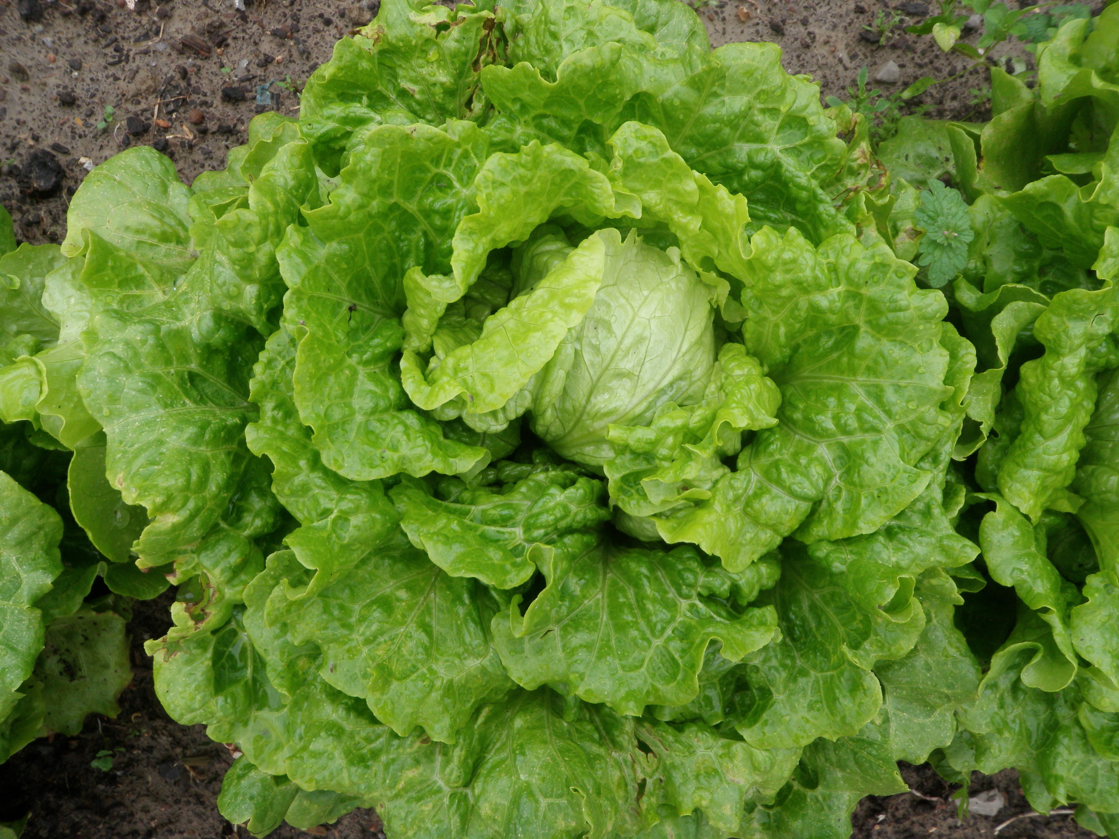 Grow a salad this winter