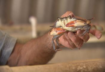 Producing soft-shell crabs poses unique challenges