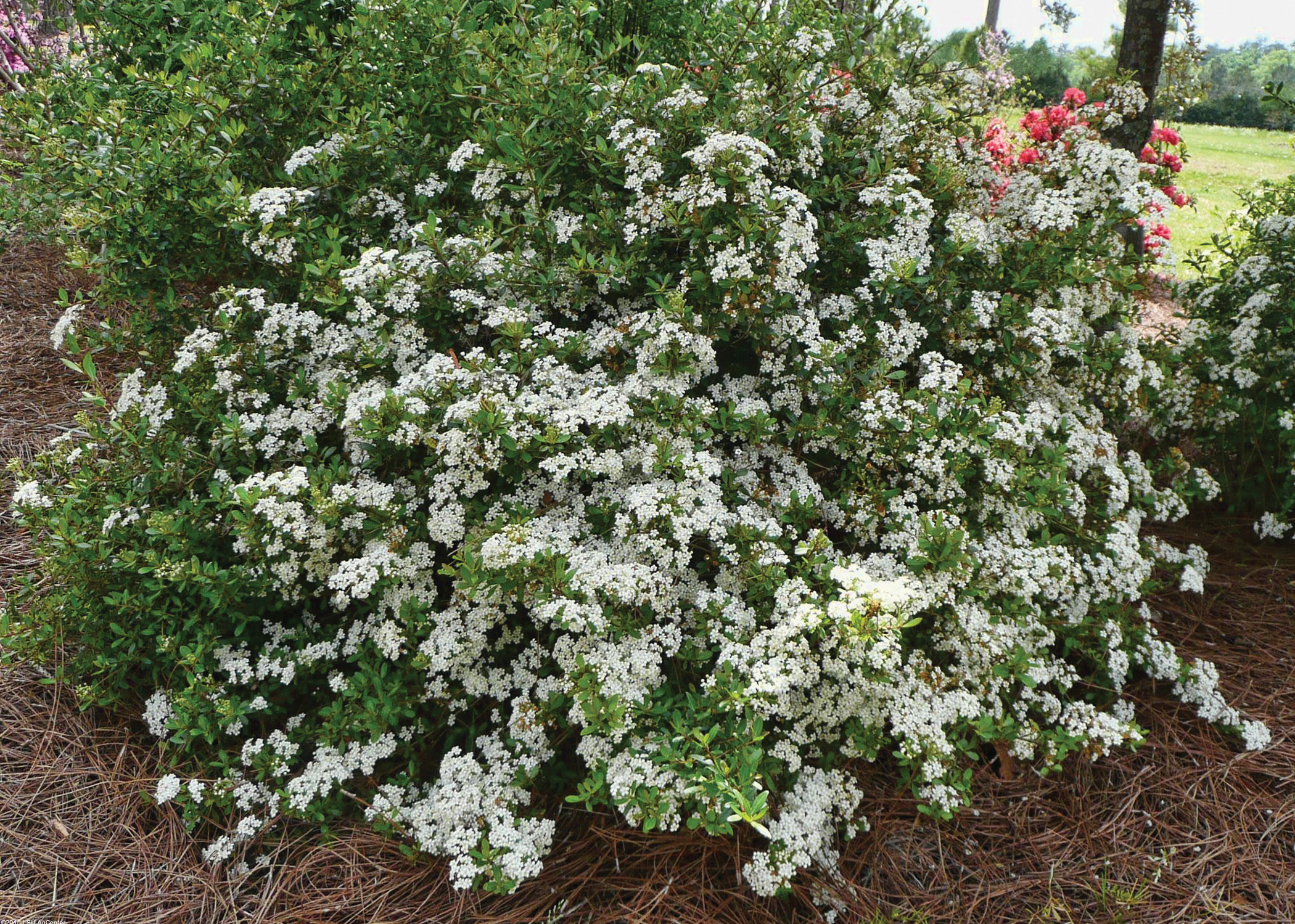 Louisiana Super Plants Shrubs