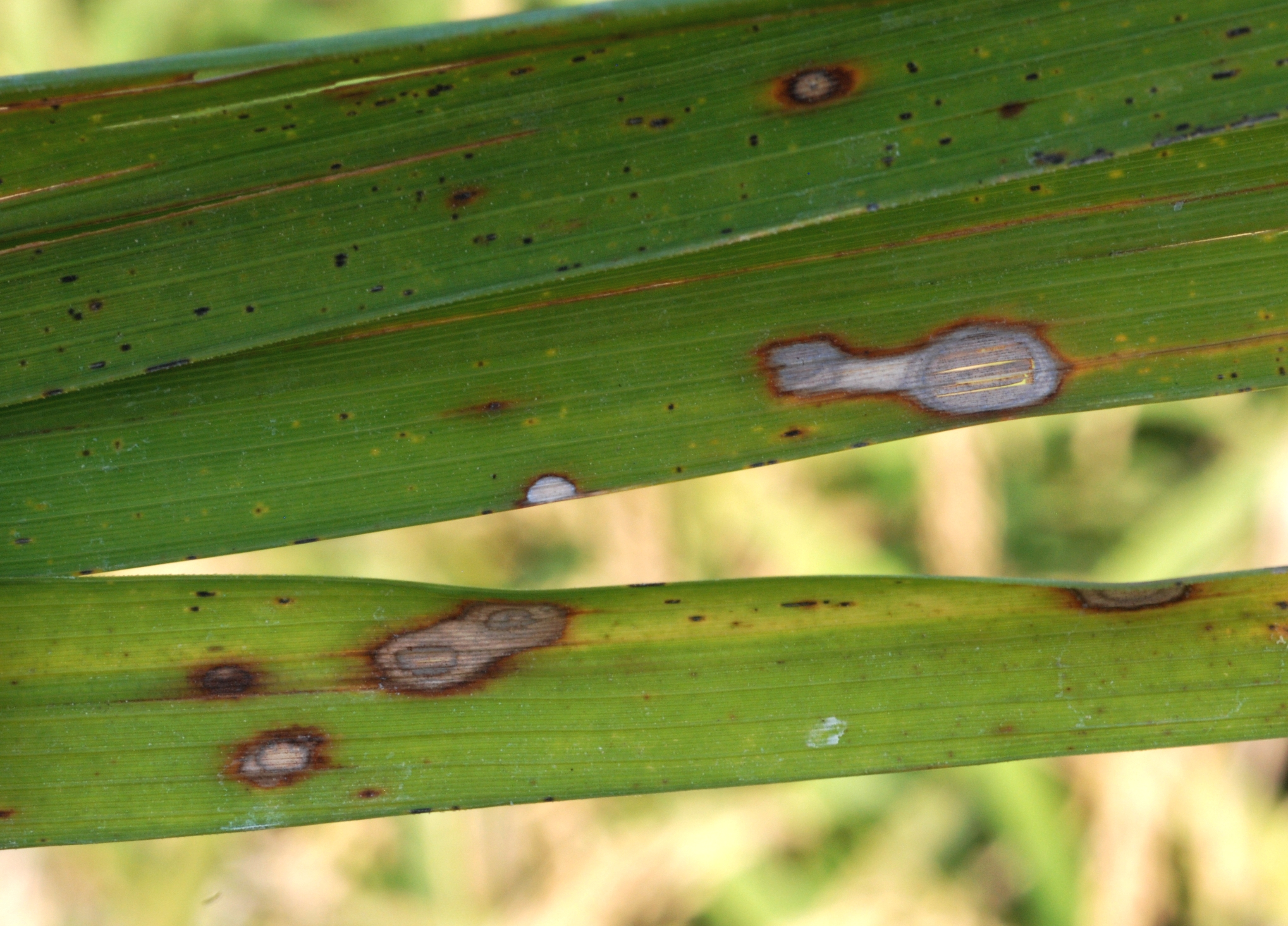 Atypical Alternaria Lesions