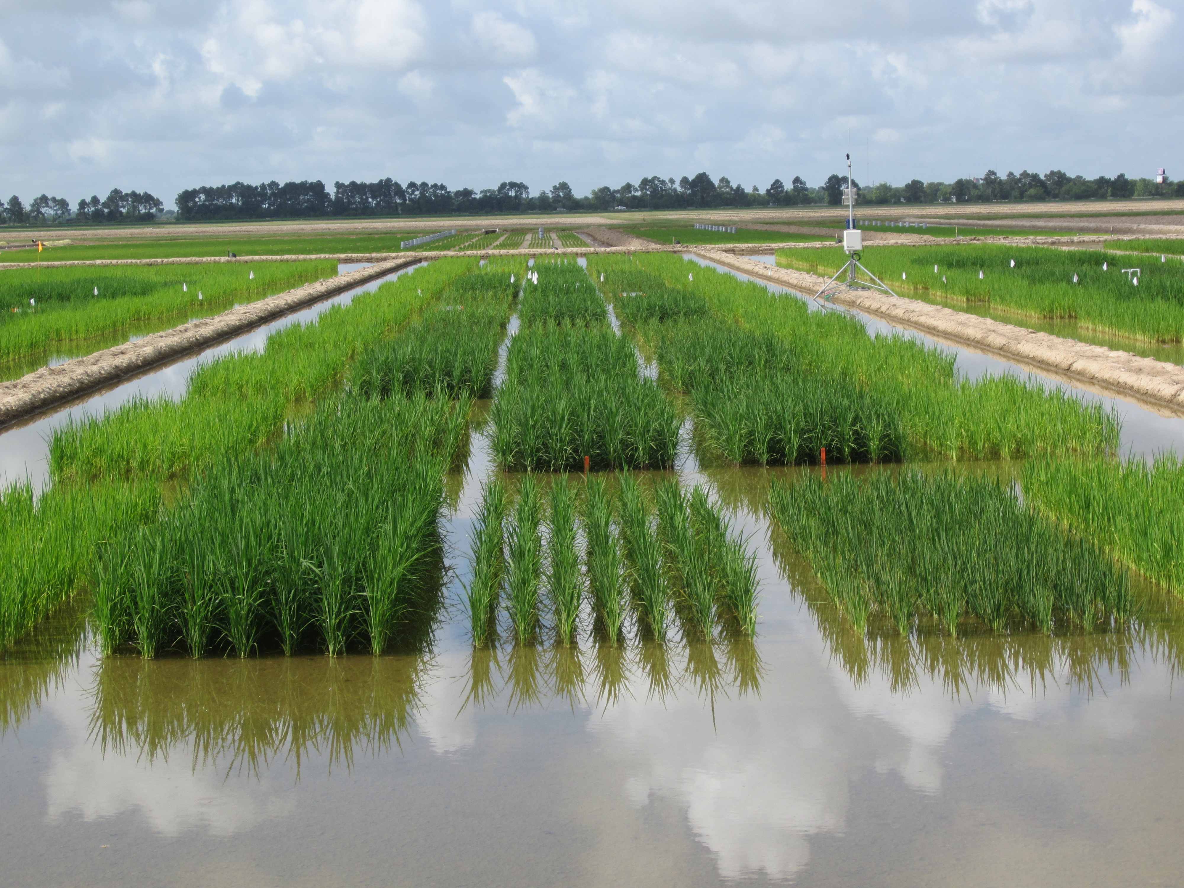 LSU AgCenter sets dates for rice field days
