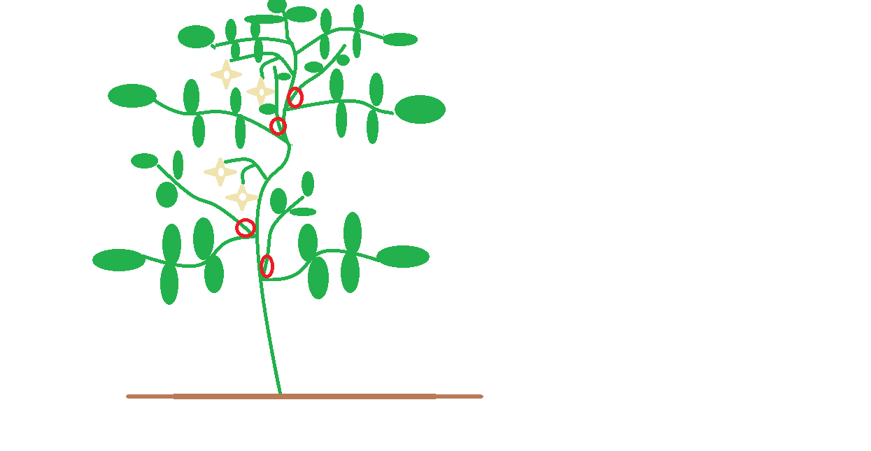 how to properly prune your tomatoes Wheat Diagram indeterminatetomatopruning