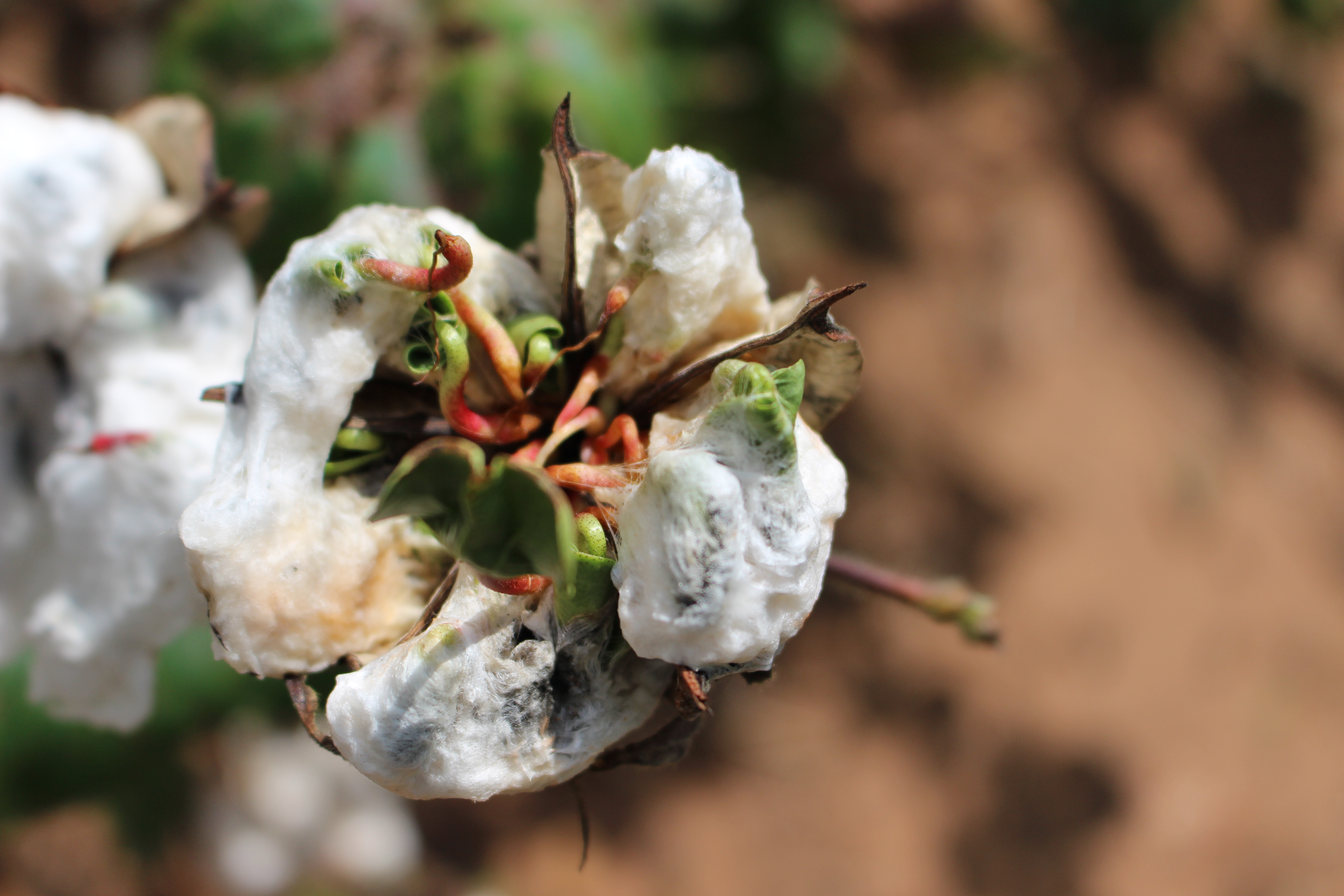 Cotton crop suffers damage from flooding rains