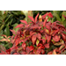 Color on hardy shrubs is not cold damage