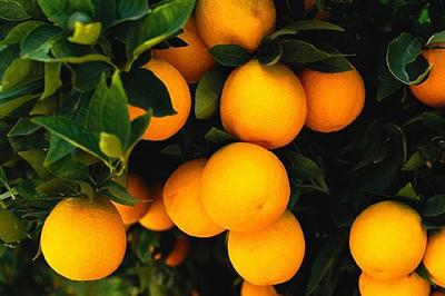 Citrus hanging from a tree