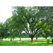 Select Scab-Resistant Pecan Varieties for Home Orchards